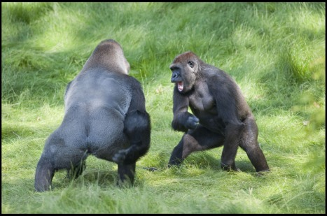 gorilla-brothers-reunited-after-3-years-apart-001